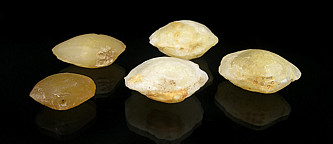 agatized clam fossils for sale